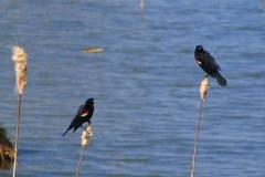 red-winged-black-birds